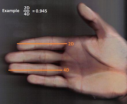Ratio 2D:4D (Source : Wikipedia EN)
